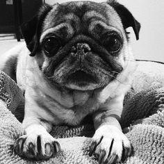 Sweet little pug face