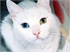 odd eye cat
