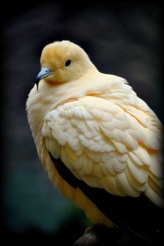 Pied Imperial Pigeon - Love the pale yellow color and blue beak