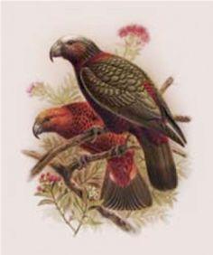 Check out Kaka from Buller's Birds of NZ at New Zealand Fine Prints Nz Art, Rare Birds, Bird Illustration, Bird Prints, Beautiful Birds, New Zealand, Illustrators, Paper Size, Kiwi