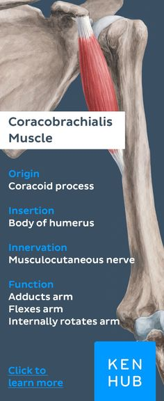 This #muscle is long and slender. It originates from the coracoid process of the scapula and performs movement in the shoulder joint. Check out our free #article for more information about the #anatomy of the coracobrachialis.