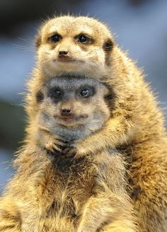 Two meerkats (Suricata suricatta) snuggle up