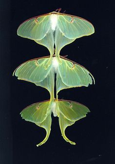 luna moths - I don't see these as often these days....
