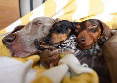 Harlow and Sage ( Dachshund Puppies, Dachshund Love, Cute Puppies, Cute Dogs, Dogs And Puppies, Doggies, Daschund, Baby Animals, Cute Animals