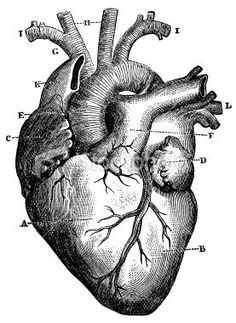 XXXL Very Detailed Human Heart Royalty Free Stock Photo: