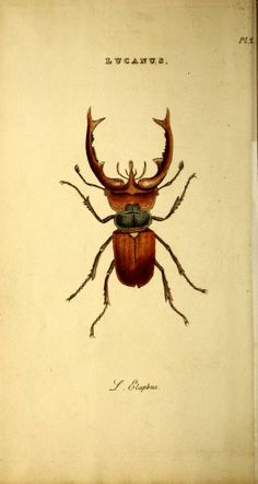 how is Rhinochaser doing BTW?  We should put some whiskey in the bottle get  a nice dark color, produce a 750, and voila, take down Fireball.  R   beetle, c.1807