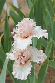 TB iris 'Note to God' (Johnson, Plants With Pink Flowers, Iris Flowers, Beautiful Flowers, Iris Garden, Garden Plants, Planting Bulbs, Planting Flowers, Bearded Iris, Gladiolus