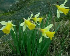 Daffodil Bulbs Native Wild Flower Garden Plant Spring Flowering Perennial Gift