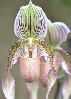 Storczyk/ Lady slipper orchid. I wish I had a bouquet of these for my wedding! Enjoy RUSHWORLD boards, BOTANICAL BURLESQUE, UNPREDICTABLE WOMEN HAUTE COUTURE and WEDDING GOWN HOUND. Follow RUSHWORLD! We're on the hunt for everything you'll love!