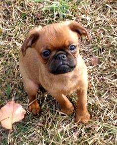 Brussels Griffon, Petit Brabancon, AKC Brussels Griffon / Petit Brabancon Puppies - Champion Bloodline, Dog Breed Info Center®