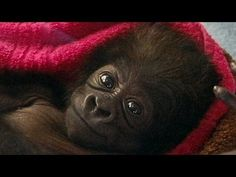 Cute Baby Gorilla Raised by Human Moms at Cincinnati Zoo - YouTube