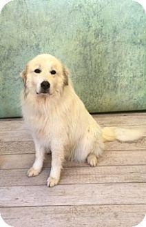 3/8/16 Waynesboro, PA - Great Pyrenees. Meet Maddie, a dog for adoption. http://www.adoptapet.com/pet/15059709-waynesboro-pennsylvania-great-pyrenees