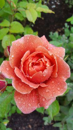 dew wet rose