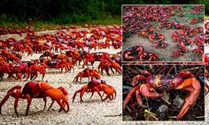 Millions of crabs take over Christmas Island as they begin migration
