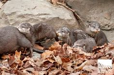 Four Asian Small-clawed Otter pups born at Seattle's Woodland Park Zoo in January have finally taken their first steps outdoors! See the photos at ZooBorns.com and at http://www.zooborns.com/zooborns/2014/04/otter-pups-take-it-outside.html