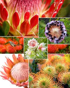 Many different protea Winter Flowers, Bright Flowers, Blooming Flowers, Tropical Flowers, Love Flowers, My Flower, Protea Wedding, Floral Wedding, Wedding Bouquets