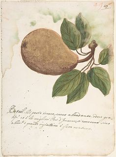 Pear  Anonymous, Italian, Venetian, 18th century   Date: 18th century Medium: Brush with yellow, brown and green watercolor, over red crayon or chalk, on cream laid paper (recto); red chalk scribbles (verso)