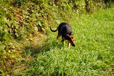 Soaking up the sunshine. Doberman Shepherd, Sunshine, Dogs, Pictures, Animals, Beautiful, Animais, Animales, Photos