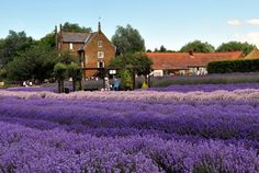 The fields of purple at Norfolk Lavender