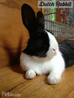 The Dutch rabbit is one of the oldest domestic rabbit breeds. This rabbit's flyback fur is short, glossy and easy to maintain, and they love to play. Raising Rabbits, Dutch Rabbits, Black And White Rabbit, Black White, Rabbit Behavior, Dwarf Bunnies, Baby Animals, Cute Animals, Rabbit Breeds