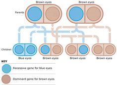 Eye Genetics Chart