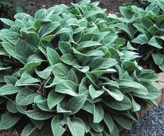 Lamb's Ear~ Do any of you grow this plant? Are you aware of just how many different uses there are for Lamb's Ear? Name one plant that is: edible, makes great tea, use for bandages, natural dye either light mauve or yellowish beige, super easy to grow, can be used as toilet paper, may strengthen the heart, can be used to help detoxify the liver, reduce fevers, antibacterial, helps diarrhea, soothes sore throats, and many other medical uses.