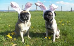 PugBunnies Wallpaper: 1280x800 | 1024x768