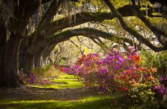 Charleston SC Plantation Oak Trees Spanish Moss Azalea Spring Flowers  Live oaks dripping with spanish moss hang over azalea flowers in full bloom at Magnolia Plantations and Gardens in Charleston SC.