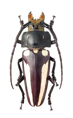 Callipogon lemoinei – CERAMBYCIDAE Subfamily Prioninae