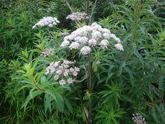 vijverplanten - gewone engelwortel - oever (vochtig) - hoog