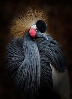Fossil records show that crowned cranes existed 37 to 54 million years ago. Photo by Anita Ross