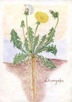 Waldorf ~ 5th grade ~ Botany ~ Dandelion ~ main lesson book
