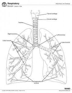 image result for dog spleen diagram black and white