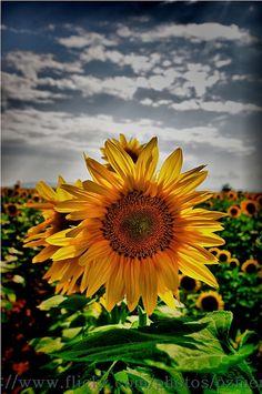Sunflower field, Ayvalık, Northern Aegean, Turkey