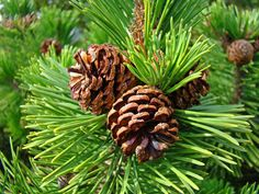 images of pine trees - Google Search