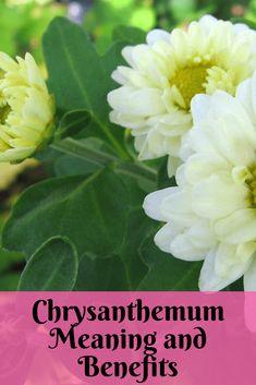 Chrysanthemum Meaning and Benefits Chrysanthemum Meaning, Chrysanthemum Flower, Gold Flowers, Beautiful Flowers, Bridal Bouquet Fall, Funeral Arrangements, Greek Words, Flowers Perennials