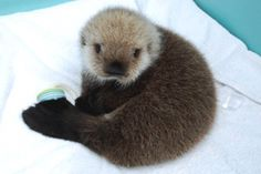 Huge congratulations to @ZooeyDeschanel and Jacob Pechenik! Here is a baby sea otter in honor of Elsie Otter