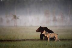 10 nights in-a-row, Finnish photographer Lassi Rautiainen saw this bear & wolf twosome meet up to share a meal, hang out, and sleep