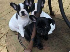 **UPDATE** Pups have now had :- vaccination paid for by my vets *microchip *health check *flea and worm treatment Beautiful French bulldog p Southampton, Hampshire, Fleas, French Bulldog, Pup, Dogs, Animals, Animales, Bulldog Frances