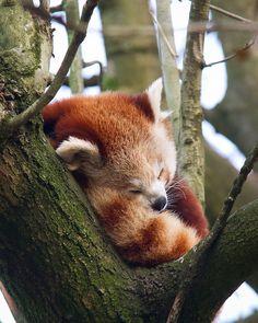 Red Panda asleep in the tree Panda Tail, Photo Panda, Panda Mignon, Otters Cute, Little Buddha, Panda Love, Baby Puppies, My Spirit Animal, Cute Creatures