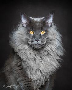 maine-coon-cat-photography-robert-sijka-64-57ad8f2c0277c__880 2