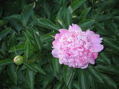 Peônia Plants, Spring, Flowers, Flora, Plant