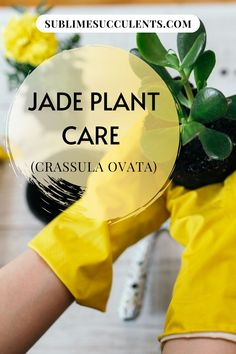 The jade plant, or Crassula ovata, remains one of the most popular succulents due to its ease of care and strong growth. Here's everything you want to know about Jade plant or Crassula Ovata. #succulents #indoorgardening #outdoorgardening #gardeningtips #jadeplant #crassulaovata Flowering Succulents, Cacti And Succulents, Planting Succulents, Succulent Potting Mix, Succulent Soil, Jade Plant Care, Succulent Species, Crassula Ovata, Jade Plants
