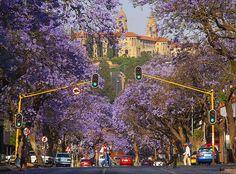 Photo - Hein waschefort https://commons.wikimedia.org/wiki/File:Jacaranda_Trees_Pretoria.jpg