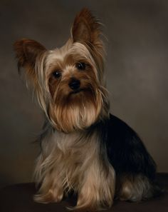 And your little dog too! Yorshire Terrier, Silky Terrier, Dog Pictures, Cute Pictures, Shih Tzu Dog, Yorkies, Little Dogs, Mans Best Friend, Pet Portraits