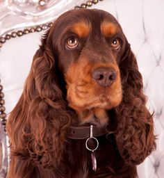 Engelse cocker spaniel chocolate and tan