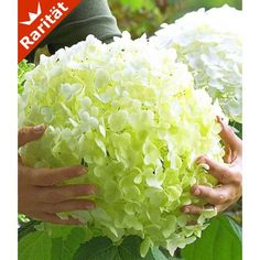 Freiland-Hortensie 'Incrediball®', 1 Pflanze - BALDUR-Garten GmbH