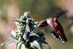 La naturaleza sabe !! #Colibri #Weed #Nature