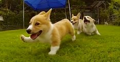 Corgi Puppies Running In Slow Motion Will Overwhelm You With Cuteness