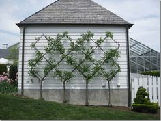 Fruit trees backyard - Friday Favorites Trellised Vines and Espaliered Trees – Fruit trees backyard